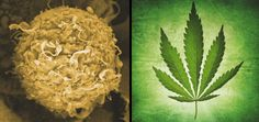 Cannabis Cancer Researchers   On The Crest Of A Cure   November 8, 2013