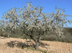 El almendro casi dobla a los cítricos como cultivo frutícola de mayor superficie en el país