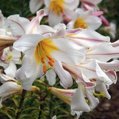 Lilium Regale 22-24cm - Parkers Wholesale