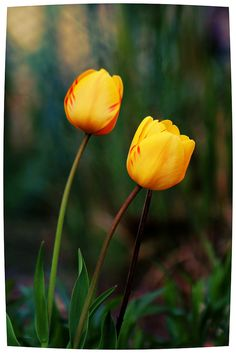 tulips, Roger Williams Park, Providence, Rhode Island