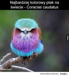 Coracias caudatus