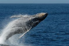 Whales and Sea Turtles Win This One - No CA Driftnet Expansion