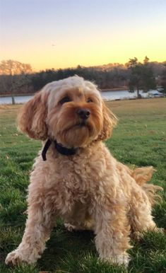 Cavoodle Dog, Cavapoo Puppies, Maltipoo, Labradoodle, Yorkie, Cavapoo Full Grown, Poodle Mix Breeds, Dog Breeds, Hunting Dogs