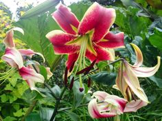 OT Hybrid Lily 'Juan de Fuca'