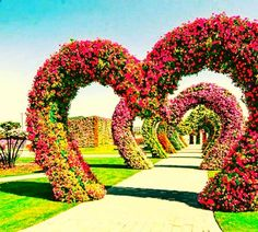 Each arch of the Hearts Passage is about 11 to 12 feet high from the garound and about 10 feet wide. The passage is also around 10 feet wide. Growing Flowers, Large Flowers, Real Flowers, Geranium Plant, Geranium Flower, Heart Structure, Million Flowers, Miracle Garden, Facing The Sun