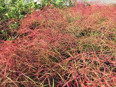 Fall foliage wish list: nandina domestica filamentosa