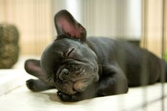 It's hard being a French Bulldog Puppy #buldog