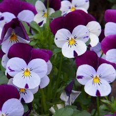 Viooltjes - mooie bakken vol op mijn terras. Deze bloem staat symbool voor mijn overgrootmoeder.