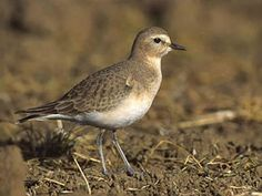 Mountain Plover  Charadrius montanus  Uncommon winter resident in agricultural fields