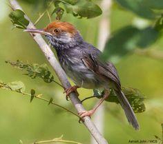 Simon Mahood et la découverte de la Couturière chaktomuk (du Cambodge) |  Nous avions publié en juin un article sur la découverte de cette nouvelle espèce : Simon Mahood, le découvreur de l'oiseau et l'auteur principal de la description officielle, a répondu à nos questions (photo: Ashish John / WCS)