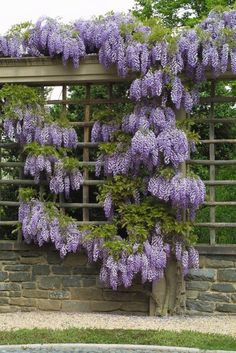the charm of wisteria is impossible to resist! climbing vines are a great way to add curb appeal to fencing