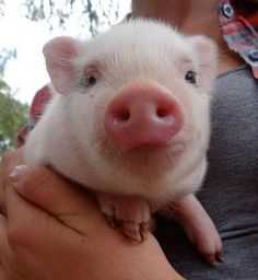 Mini Piglets, Happy Healthy, Farms, Facebook, Board, Animals, Homesteads, Animales, Animaux