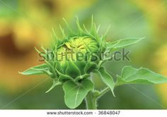 Sunflower bud.