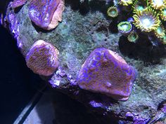 Purple haze montipora January 9/19 January 9, Purple Haze, Amethyst, Texture, Crystals, Crafts, Surface Finish, Amethysts, Crystals Minerals