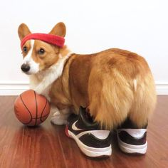 Loki corgi basketball player