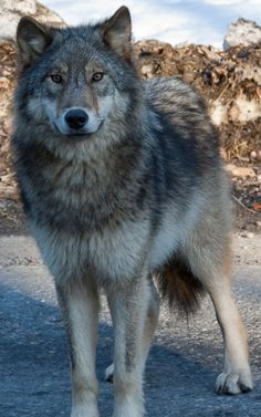 beautiful grey wolf Photo by Soren Hedberg, 2010.