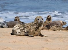 Harbor Seals - Horsey Gap, Norfolk, UK