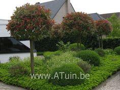 Glansmispel Photinia fraseri ′Red Robin′ Bloemkleur: Wit Bloeimaand: Mei, Juni Volwassen Hoogte: 2 à 3 m. Grondsoort: Normaal, Lichtzuur Standplaats: Zon, Halfschaduw