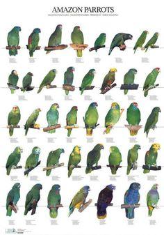105 Best Amazon Parrots Images Amazon Parrot Parrot Birds
