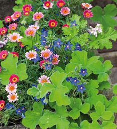 "Blue, Pink & Silver Pot Collection: Anagallis monelii, Argyranthemum Madeira ""Cherry Red' and Pelargonium tomentosum Tiny White Flowers, Love Flowers, Container Plants, Container Gardening, Garden Inspiration, Garden Ideas, Garden Fun, Backyard Ideas, Garden Features"