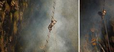 Stunning photos show the ancient tradition of honey hunting in Nepal.  To collect the honey, the hunters use nothing more than handmade rope ladders and long sticks called tangos. Smoke is used to drive thousands of angry Apis laboriosa — the largest honey bee in the world.