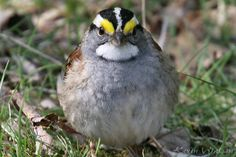 Photo Gallery :: Birds of the Northeast US :: 203 white-throated sparrow