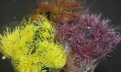 #Chrysanthemum 1head #Maxim; Available at www.barendsen.nl