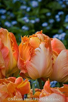 >>>Cheap Sale OFF! >>>Visit>> Parrot tulip Professor Rontgen -will plant these my favorite color of flowers! Sugar Flowers, Beautiful Flowers, Tulip Bulbs, Parrot Tulips, Spring Bulbs, Spring Garden, Daffodils, Pansies, Horticulture