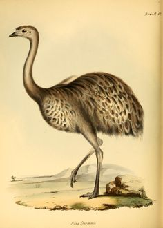 Rhea darwinii. The zoology of the voyage of H.M.S. Beagle ... during the years 1832-1836 pt. 3 (Birds) London,Smith, Elder & Co.,1838- Biodiversitylibrary. Biodivlibrary. BHL. Biodiversity Heritage Library