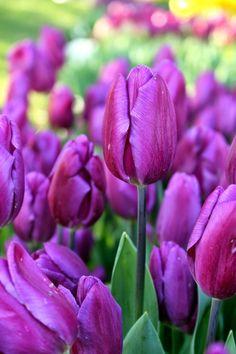 Pink tulips by Zeynep Gürel on 500px