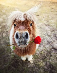 """Will you be my Valentine?"" Cute little pony with a rose in his mouth."