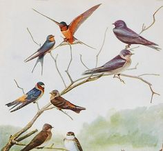 Antique Bird Book Plate  Barn Swallow and Purple by thewhitepepper, $10.50