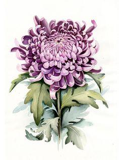 Aquarelle botanique Illustration. Chrysanthème. Art par Limkina