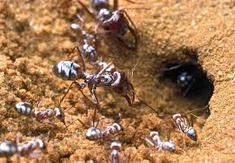 سریعترین مورچه دنیا با سرعت حرکت 855 میلیمتر در ثانیه کشف شد! Ants, Silver, Money, Ant