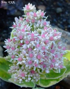 Sedum 'Frosty Morn'.  I want to find this sedum!
