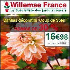 #missbonreduction; Promos: remise de 30% sur les 6 Dahlias décoratifs 'Coup de Soleil' chez Willemse. http://www.miss-bon-reduction.fr//details-bon-reduction-Willemse-i200-c1833843.html
