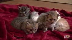 House full of Munchkin Kittens - http://www.thecutestkitties.com/house-full-of-munchkin-kittens/