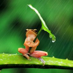 Check out this tiny frog using a leaf as an umbrella