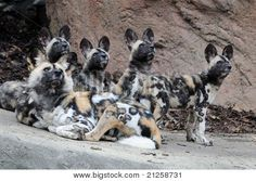 Family Of African Wild Dogs Poster. African Wild Dog, Dog Poster, Wild Dogs, Kangaroo, Animals, Baby Bjorn, Animales, Animaux, Animal