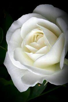White rose flower meaningwhite rose flower white rose symbolic love rose white flowers paint roses mightylinksfo
