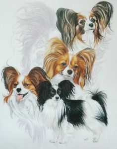 Papillon Drawing  - Papillon Fine Art Print