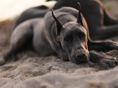 I cannot wait to have my first Great Dane fur-child :D