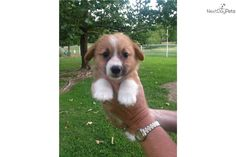 Meet Little Girl a cute Corgi puppy for sale for $500. AKC Registered Pembroke Welsh Corgi-Little Girl