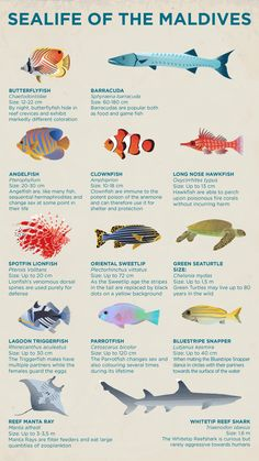 Learn about the wide variety of sealife in the Maldives, with this informative guide from Kuoni. Hotel Ads, Coral Art, Animal Tracks, Maldives Travel, Types Of Fish, Angel Fish, Ocean Creatures, Romantic Vacations, Fish Design