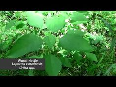 Wild Edibles 21: Nettle & Jewelweed Jewel Weed, Wild Edibles, Landscaping Plants, Apocalypse, Homesteading, Mushrooms, Woodland, Herbalism, Berries