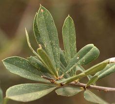 Boscia Angustifolia var. corymbosa        leaves       Rough-leaved Shepherds Tree       Skurweblaarwitgat        8 m      S A no 122,1