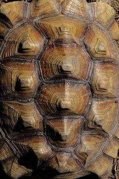 Turtle shell (carapa