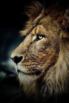 De leeuw.