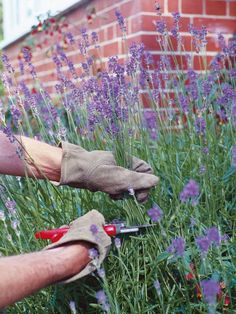 Learn about pruning lavender, including when to do lavender pruning, from experts at HGTV. Learn why lavender pruning is important.