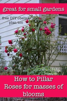 Get masses of blooms on your roses and save space too. Easy step by step instructions on how to pillar a rose. This technique has been around for ages and is a wonderful way to keep your roses healthy and blooming. Great for small gardens too. Small Space Gardening, Garden Spaces, Small Gardens, Gardening For Beginners, Gardening Tips, Container Gardening, Amazing Gardens, Beautiful Gardens, Low Maintenance Garden Design